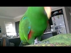 Milo the Eclectus Parrot - Sexy and he knows it.