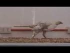 Chicken walking like a dinosaur